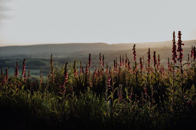 Flowering field in Wales